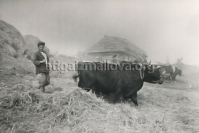 Palikend, Astara District, 1959, Man with Bull